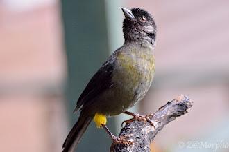Photo: Yellow-thighed Finch @ Paraíso QuetzalLodge, Cerro de la Muerte