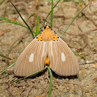 Asota plaginota 方斑擬燈蛾