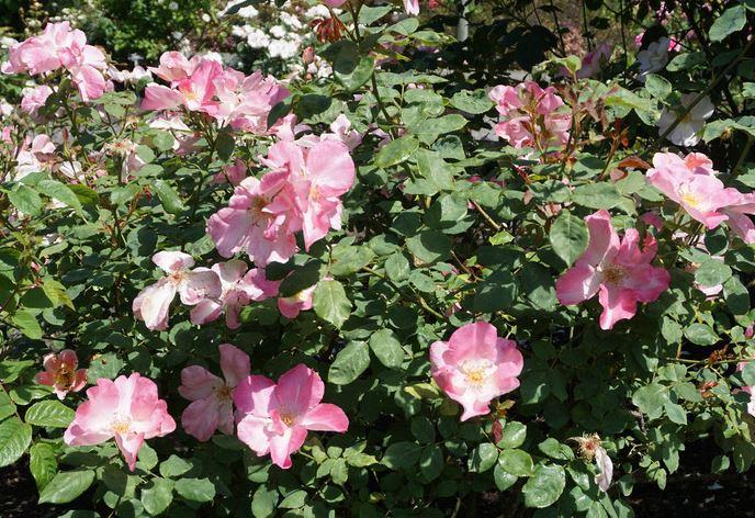 английская роза DAPPLE DAWN