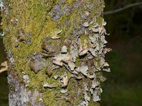 Photo: Pseudocyphellaria crocata, Lobaria amplissima
