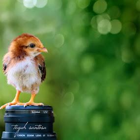 chick by Teguh Santosa - Animals Birds
