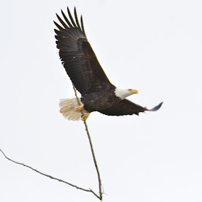 Bald Eagle by Ed Neu - Animals Birds (  )