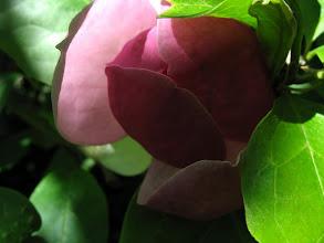 Photo: pąk róży