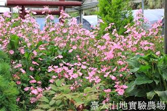 Photo: 拍攝地點: 梅峰-溫帶花卉區 拍攝植物: 花葵 拍攝日期:2013_07_30_FY