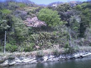 Photo: 島側には桜がちらほら