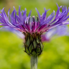 Cornflower by Gordon Bishop - Nature Up Close Flowers - 2011-2013 ( wild, mauve, purple, bright, meadow, cornflower, canvas, stem, head, flower )