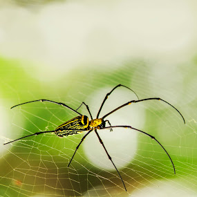 by Yreff Lesmana - Nature Up Close Webs ( pwcinsects&spiders,  )