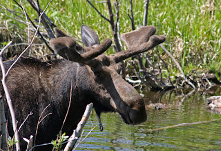 Photo: Moose in Yellowstone National Park, Wyoming