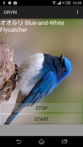 Blue-and-White Flycatcher crie