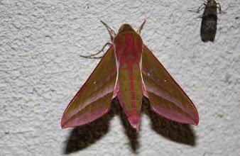 Photo: Deilephila elpenor   Lepidoptera > Sphingidae