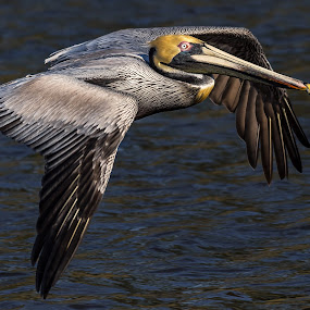 by Don Young - Animals Birds ( bird of prey, nature, waterscape, birds, pelicans )