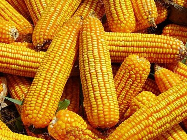 Egyhetes csúcsra drágult a kukorica jegyzésára