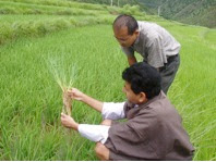 Photo: A rice scientist investigates the roots of an SRI seedling at the site of an SRI field trial conducted by Bhutan's College of Natural Resources during the 2008 growing season.  [Photo courtesy of Kharma Lhendup, Bhutan, 2008]