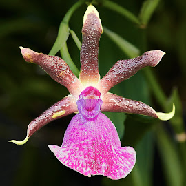 Orchid 9927~ 1 by Raphael RaCcoon - Flowers Single Flower