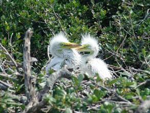 Photo: Great Egret Chicks