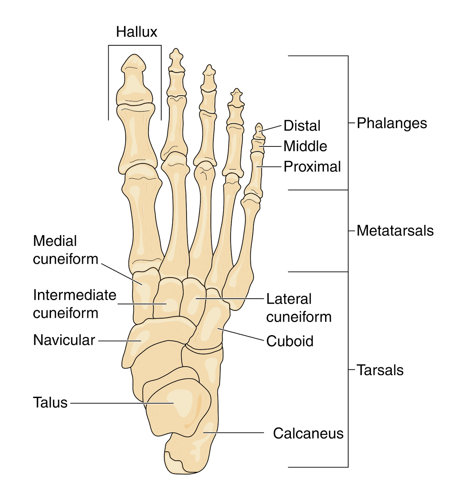 Foot and Ankle Problems By Dr. Richard Blake: Accessory Navicular ...