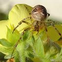 Lesser garden spider
