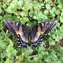 Eastern Tiger Swallowtail (dark morph)