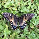 Eastern Tiger Swallowtail (dark morph)
