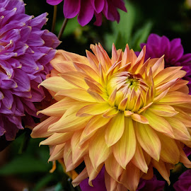 Potted Dahlias by Jim Downey - Flowers Single Flower ( orange, green, dahlia, yellow, purple )