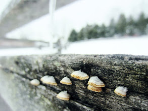 Photo: Small mushrooms growing on a wooden fence under icicles at Carriage Hill Metropark in Dayton, Ohio.