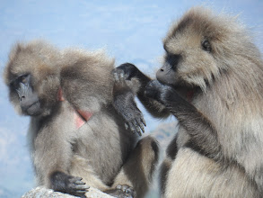 Photo: Gelada baboons in Simien Mountains National Park (they're not actually baboons, but closely related)