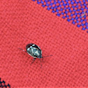 Crucifer Shield-bug
