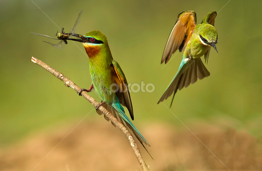 BLUE TAILED BEE EATER by Subramanniyan Mani - Animals Birds ( bird, blue tailed bee eaters, flight, nature, action, wildlife, birds )