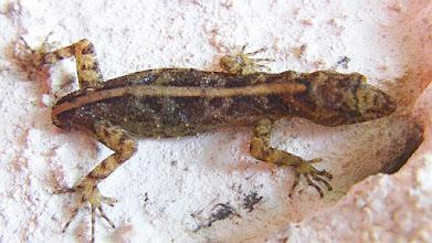 Photo: Dwarf Day Gecko (Cnemaspis podihunae) Huna