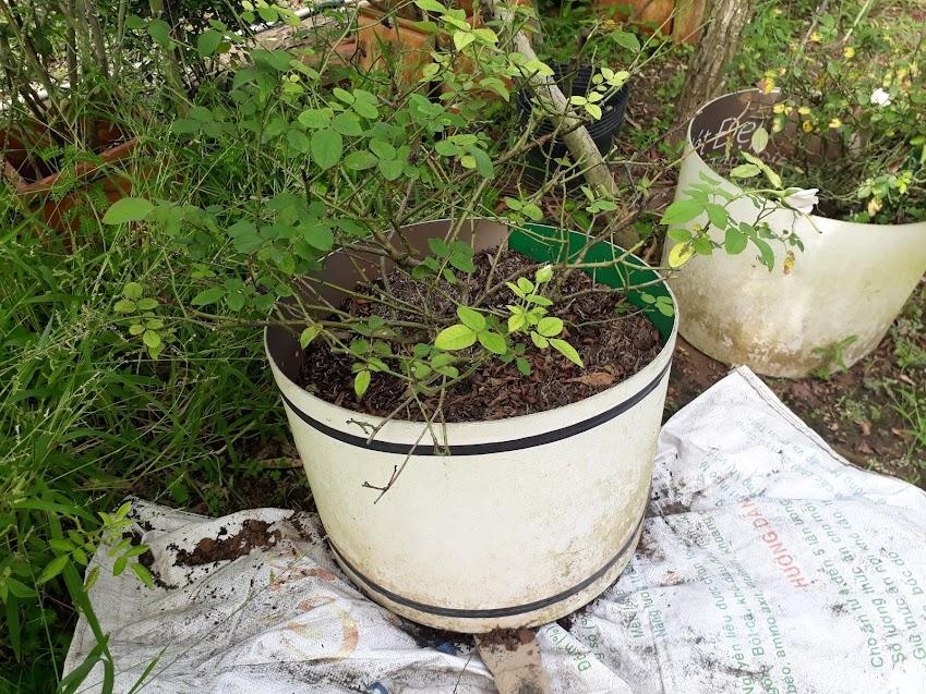 Dùng bao nylon lót bên dưới đáy chậu, tránh tình trạng phần đất trồng gần đáy chậu thoát ra ngoài.