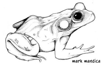 Photo: Rana grylio | Pig frog