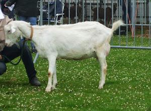 Photo: Klasse 3: 2 en 3 jarige witte geiten.  1a. Marijke 189 (3 jaar).