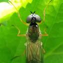 Female Sargus bipunctatus