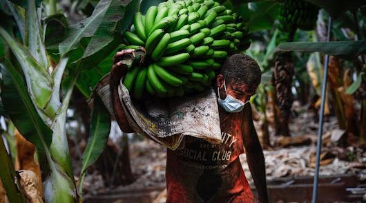 Almería salva miles de plátanos dañados por el volcán de La Palma