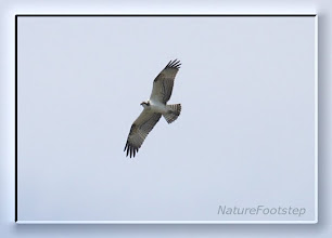 Photo: Fiskgjuse - Pandion haliaetus - Osprey