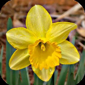 Evidence of Spring by Regina Watkins - Nature Up Close Flowers - 2011-2013 ( spring, flower, jonquil, , nature, flowers, Spring, springtime, outdoors )