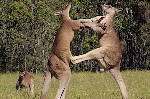 Kangaroo Fights Are Brief and Extremely Violent Affairs