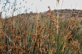 Photo: Flora zona humida: Juncus maritimus