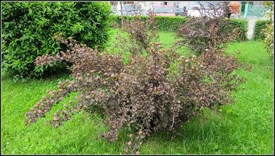"""Photo: Fizocarp roșu """"Diabolo"""" (Physocarpus opulifolius """"Diabolo"""" - din Parcul Teilor - 2017.05.16"""