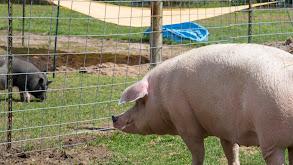 Pig and Small thumbnail