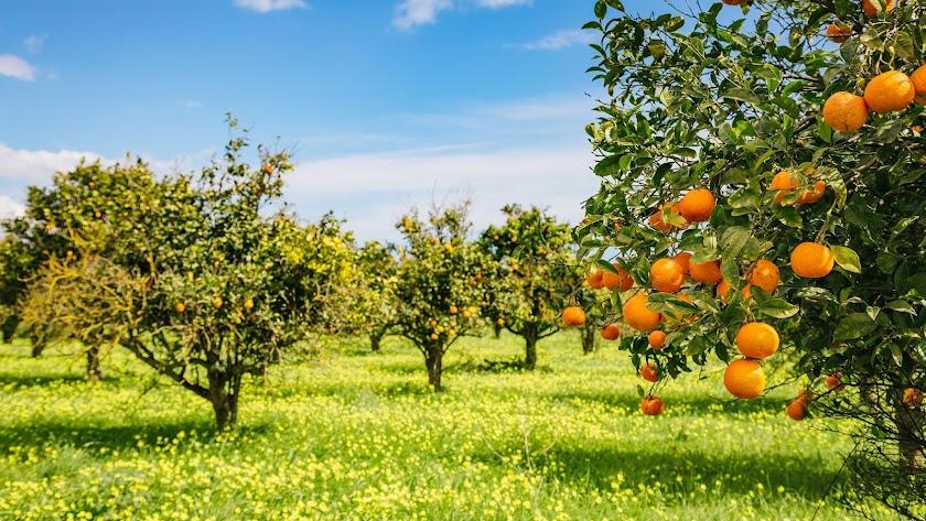 La naranja es el alimento más producido entre los cítricos.