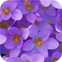 Lilac flower. Live wallpaper icon