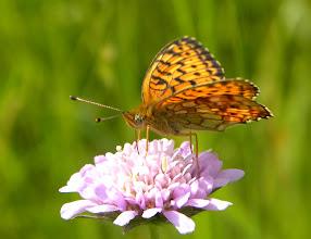 Photo: Purperstreepparelmoervlinder