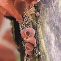 Auricularia sp