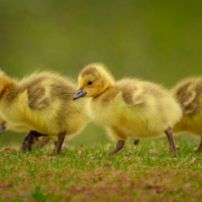 Ducklings by Garces & Garces - Animals Birds ( bird, ducklings, duck, wildlife )