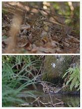 Photo: 撮影者:登坂久雄 鳥名:トラツグミ タイトル:トラツグミ 観察年月日:2014/1/2 羽数:1 場所:長池公園 区分: メッシュ:武蔵府中1C コメント:昨年末から居付いているようです。午前10時ころ、池で水浴びをしていました。