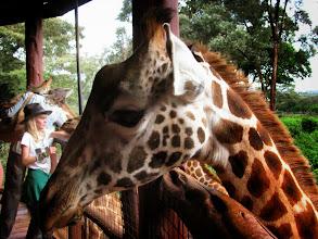 Photo: Giraffenfütterung (Rothschildgiraffen)