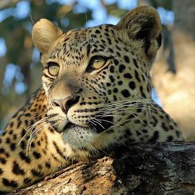 Botswana Leopard by Anthony Goldman - Animals Lions, Tigers & Big Cats ( okavango delta, big cat, predator, tree, male.wild, leopard,  )