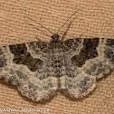 scopula moth?