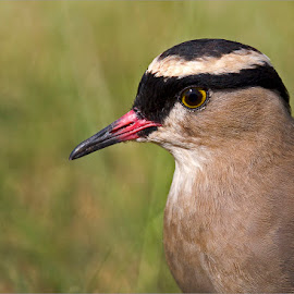 Crowned lapwing portait by Johann Harmse - Animals Birds ( nature, crowned lapwing, bird, birds, lapwing )